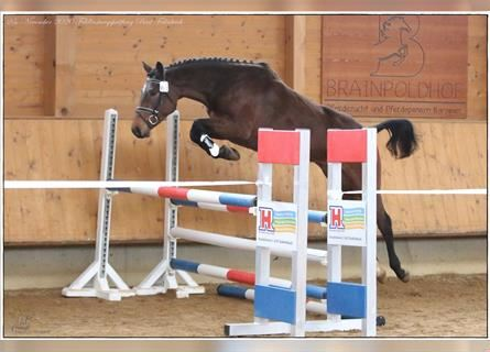 German Sport Horse, Mare, 4 years, 16 hh, Brown