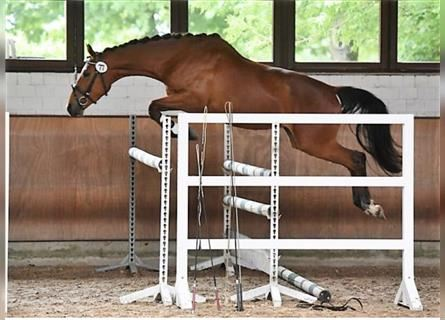 Trakehner, Mare, 4 years, 16.1 hh, Brown