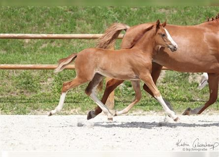 German Riding Pony, Mare, 1 year, 14.2 hh, Chestnut-Red