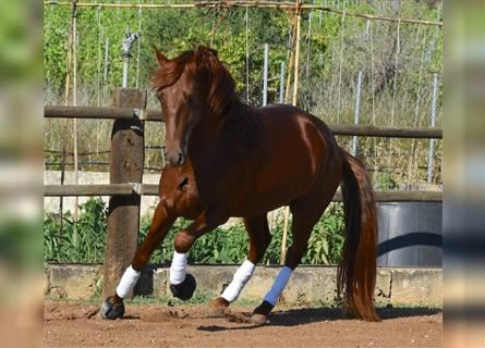 Andalusier, Hengst, 3 Jahre, 162 cm, Fuchs