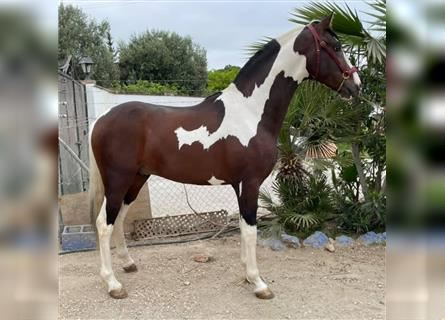 Other Warmbloods, Stallion, 3 years, 15.2 hh, Pinto