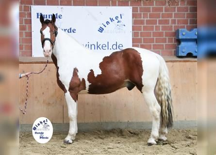 Other Warmbloods, Gelding, 3 years, 16 hh, Pinto