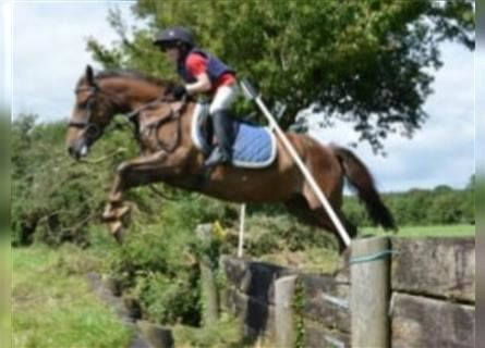 More ponies/small horses, Gelding, 10 years, 15.1 hh, Brown