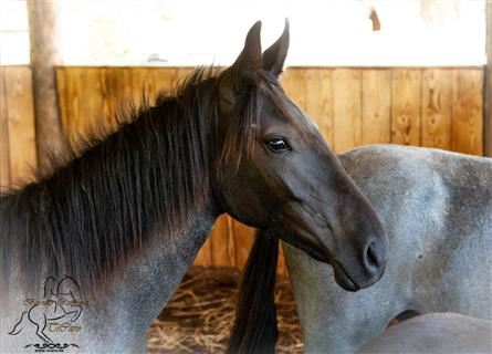 Murgese, Mare, 1 year, 14.2 hh, Roan-Blue