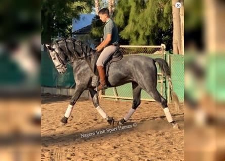 Andalusier, Hengst, 5 Jahre, 173 cm