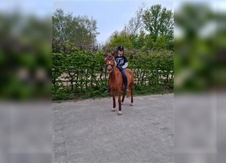 German Riding Pony, Mare, 5 years, 14.1 hh, Chestnut-Red