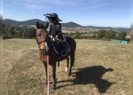 More ponies/small horses, Mare, 17 years, 14.1 hh, Bay-Dark