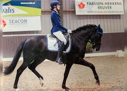 New Forest Pony, Gelding, 6 years, 14.2 hh, Black