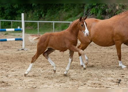 German Riding Pony, Mare, Foal (04/2021), 14.1 hh, Chestnut-Red