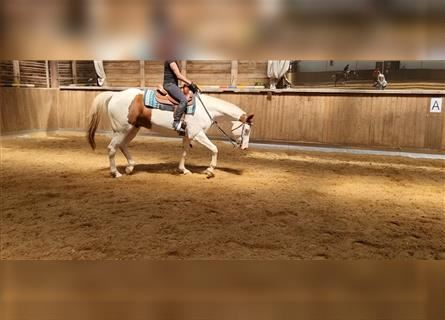Paint Horse, Wallach, 7 Jahre, 164 cm, Tobiano-alle-Farben