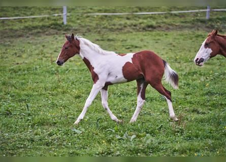 Paint Horse, Stallion, 1 year, 15.1 hh, Tobiano-all-colors