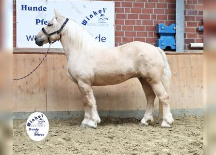 Other Heavy Horses, Mare, 10 years, 15.2 hh, Palomino