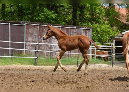 Paint Horse, Stallion, Foal (04/2021), 15.1 hh, Chestnut-Red