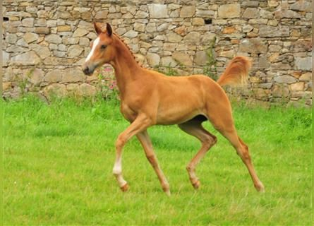 Trakehner, Mare, Foal (05/2021), 16.2 hh, Chestnut-Red