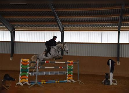 KWPN, Mare, 9 years, 16.1 hh, Gray