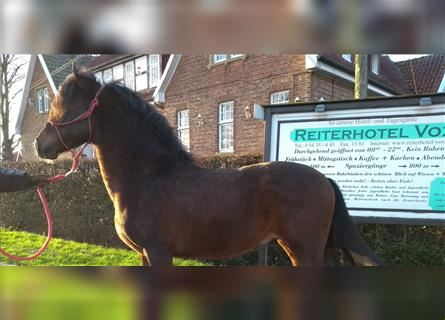 More ponies/small horses, Gelding, 8 years, 14.1 hh, Brown