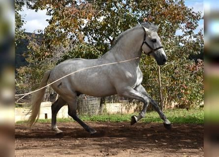 Andalusian, Stallion, 9 years, 16.1 hh, Gray