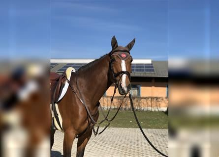 Hanoverian, Mare, 5 years, 17 hh, Brown
