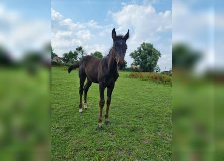 German Riding Horse, Mare, Foal (04/2021), 16.1 hh, Can be white