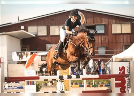 KWPN, Mare, 9 years, 16.1 hh, Brown