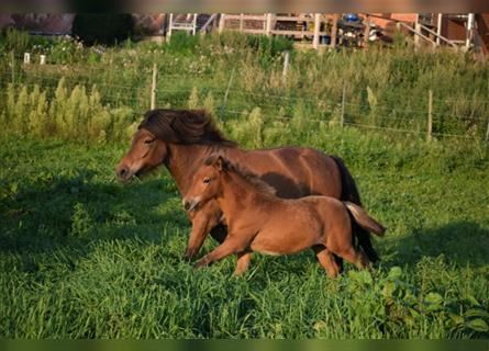 Icelandic Horse, Mare, 4 years, 13.2 hh, Brown