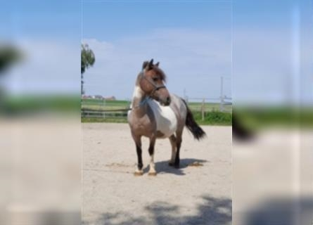 More ponies/small horses Mix, Mare, 6 years, 10.2 hh, Roan-Bay