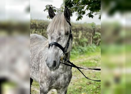 Other Breeds, Mare, 5 years, 13.3 hh, Gray-Dapple