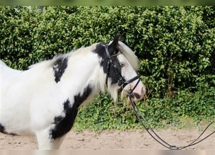 Other Breeds, Mare, 6 years, 13.2 hh, Pinto