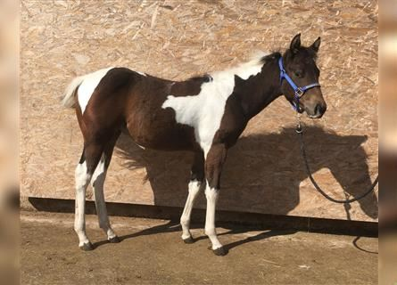 Paint Horse, Mare, 1 year, 14.2 hh