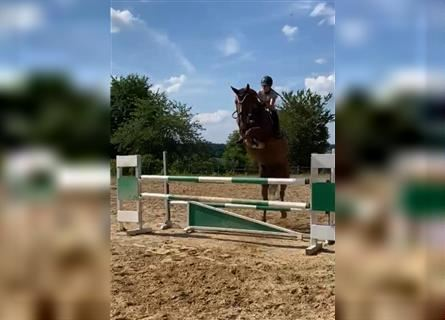 Other Warmbloods, Mare, 8 years, 17 hh, Chestnut