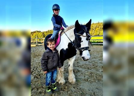 Gypsy Horse, Mare, 8 years, 13.2 hh, Pinto
