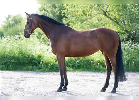 German Sport Horse, Mare, 16 years, 16.1 hh, Brown