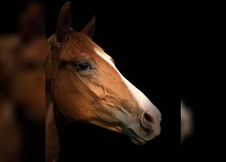 Swiss Warmblood, Mare, 2 years, Chestnut-Red