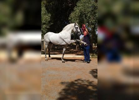 Andalusian, Stallion, 10 years, 15.3 hh, Gray
