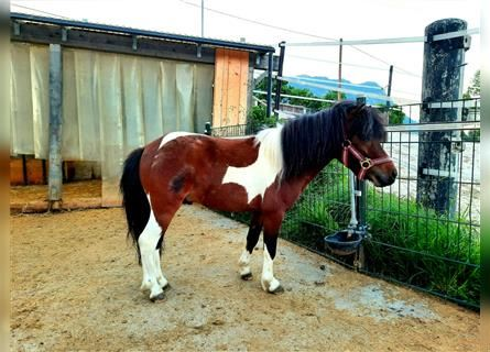 Shetland Ponies, Stallion, 3 years, 8.3 hh, Tobiano-all-colors