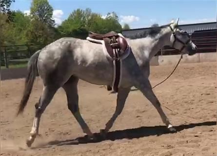 American Quarter Horse, Mare, 3 years, Gray