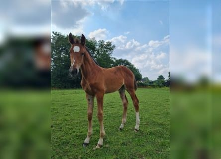 German Riding Horse, Mare, Foal (05/2021), 16.1 hh, Brown-Light