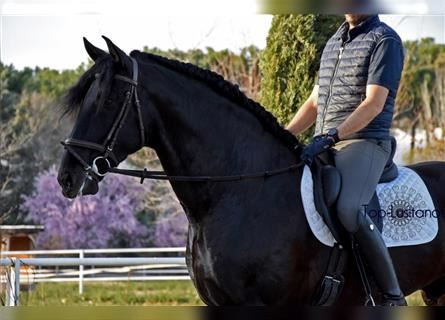 Andalusier, Hengst, 5 Jahre, 173 cm, Rappe