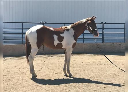 Paint Horse, Hengst, 3 Jahre, Tobiano-alle-Farben
