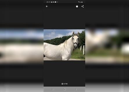 Andalusian, Gelding, 9 years, 16.2 hh, Gray