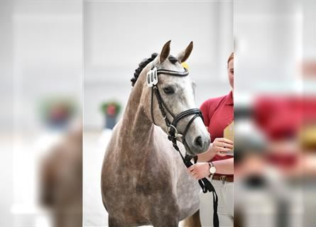 German Riding Pony, Mare, 3 years, 14.1 hh, Gray