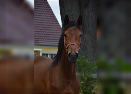 Trakehner, Mare, 4 years, 16 hh, Brown