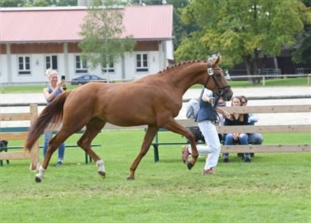 German Sport Horse, Mare, 6 years, 16 hh, Chestnut-Red
