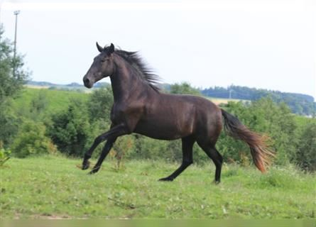 P.R.E. Mix, Mare, 2 years, 16 hh, Can be white