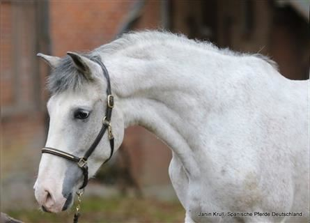 Andalusian, Gelding, 7 years, 15.1 hh, Gray
