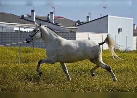 Andalusian, Mare, 9 years, 16.1 hh, Gray