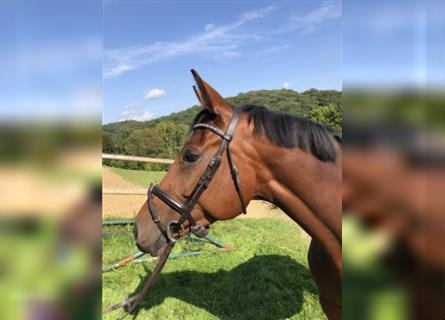 Hanoverian, Mare, 5 years, 16.2 hh, Brown