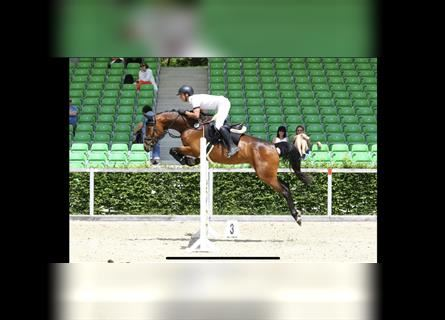 German Sport Horse, Mare, 8 years, 15.2 hh, Brown