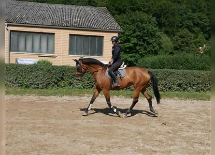 Hungarian Sport Horse, Mare, 12 years, 17.1 hh, Brown