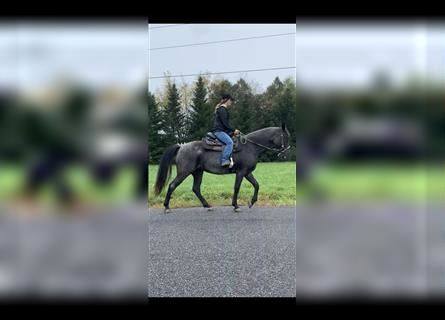 Kentucky Mountain Saddle Horse, Mare, 13 years, 15 hh, Roan-Blue